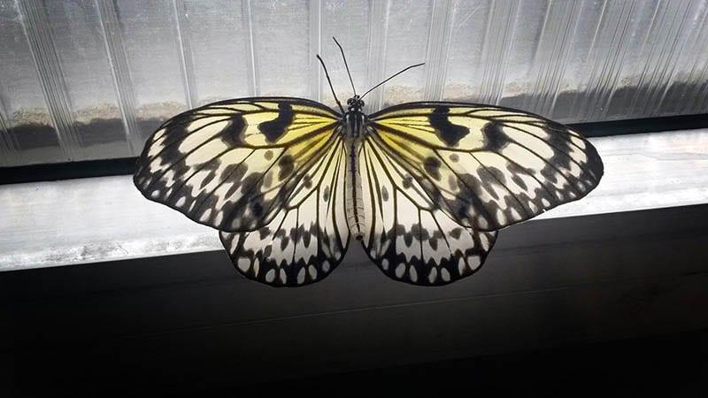 Тропические бабочки в Фата Моргана